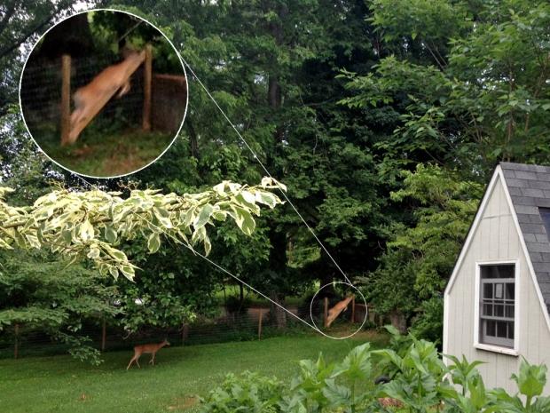 leaping ruminant