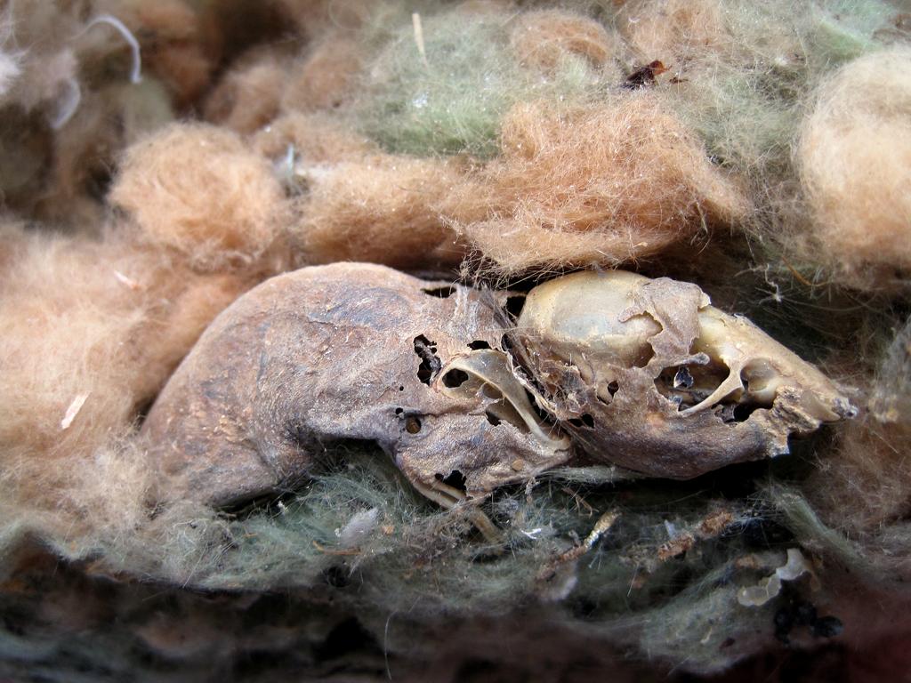 mouse skeleton